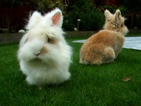 Brown and white lionhead rabbit - photo#14