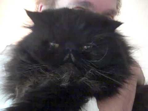 Cute Black Persian Cats Black Persian Cat Coco