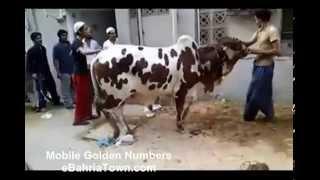 2014 Dangerous Cows Qurbani Clips Collection