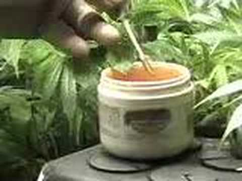 How to Clone Marijuana - Cloning Marijuana