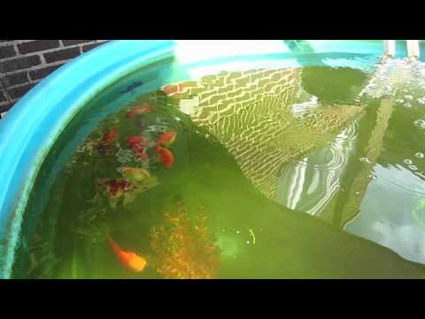 Koi fish and gold fish stock tank garden pond how to for 1000 gallon fish pond