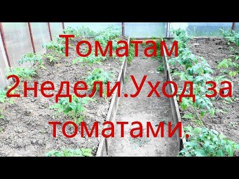 Как ухаживать за рассадой помидор после высадки в теплицу 35