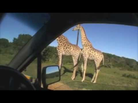 Giraffe Sex Safari! video