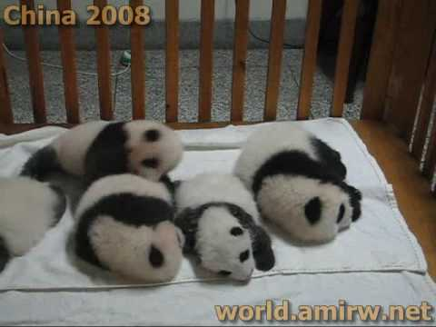 Baby Panda Crawling In A Crib - Chengdu Pandas Research Center