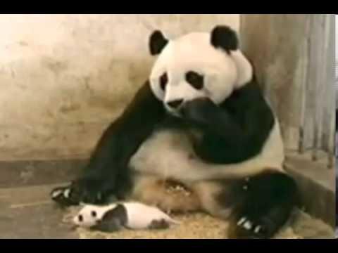 Детёныш панда напугал маму чихом