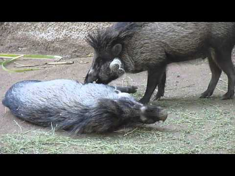 the visayan warty pig sus cebifrons is a critically endangered