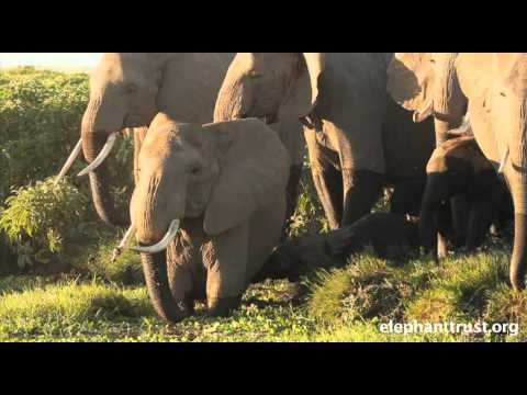 Amboseli Elephants - Orabel, An Elephant Mother and Matriarch