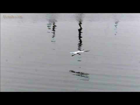 Egret flight in slow motion - UltraSlo