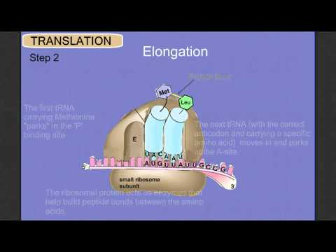 Protein Synthesis Stage 2: Translation