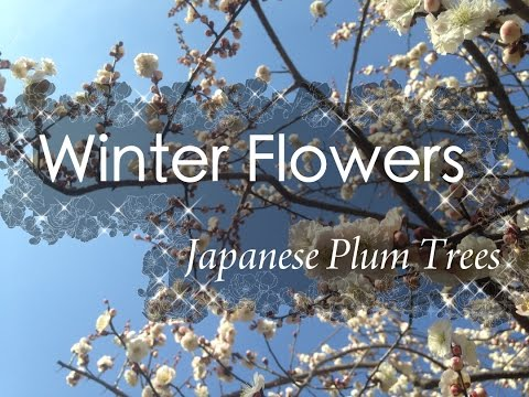 【HD】Winter Flowers - Japanese Plum Trees