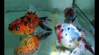 Step by Step How to Breed Goldfish in Aquarium (Natural Way)