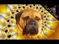 [Bullmastiff Dog Tricks #3 Jack at 8 years] Video