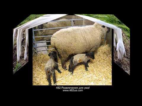 Овцы и козы слайд-шоу, часть 2