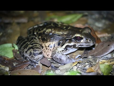 Mountain Chicken Dominica ▶ Mountain Chicken Frogs