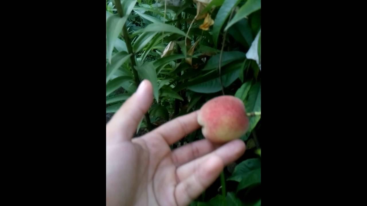 Персики рассада продажа 31