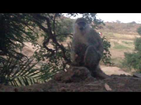 Mother Monkey Kissing  And Breastfeeding Its Baby; Another One Walking On Electric Wires