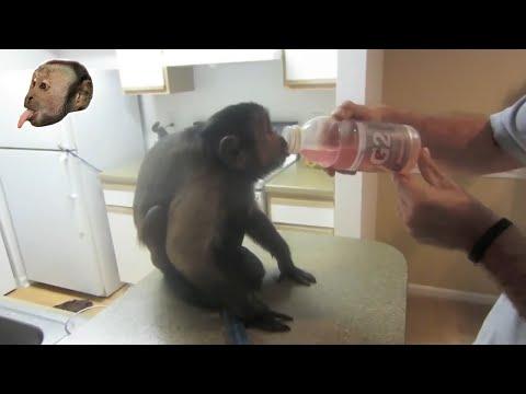 Capuchin Monkey Loves GatorAde