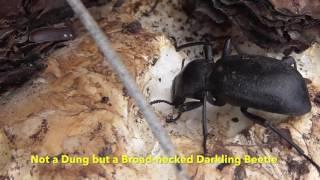 Broad-necked Darkling Beetle feeding on a Train Wrecker Mushroom