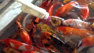 "Feeding Japanese Carp Fish  ""Koi""  With a Bottle of Milk Part 2"
