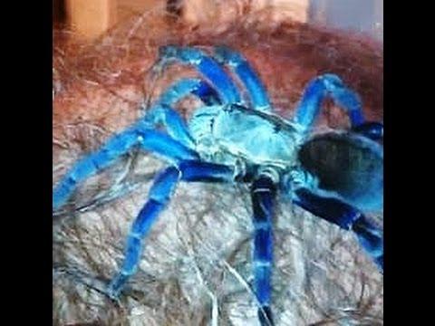 Cobalt Blue Tarantula Web Cobalt Blue Tarantula Crawled