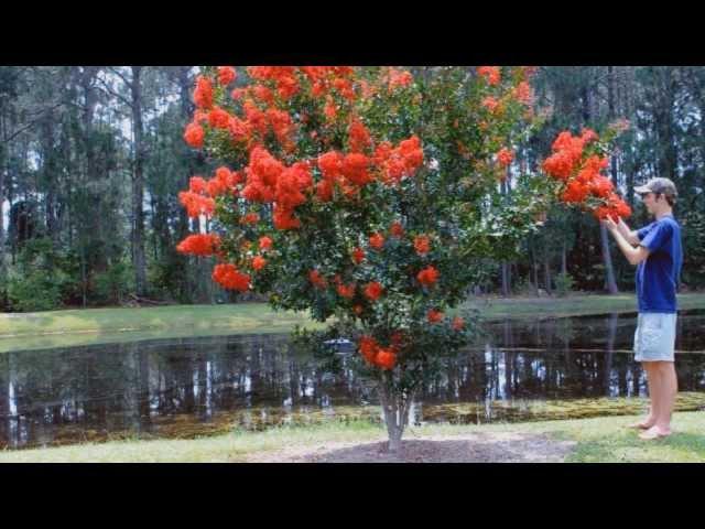Plant a Crape Myrtle Tree Top Video
