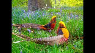 The Most Beautiful & Colorfully Top 71 Golden Pheasant And Wading Birds In The World