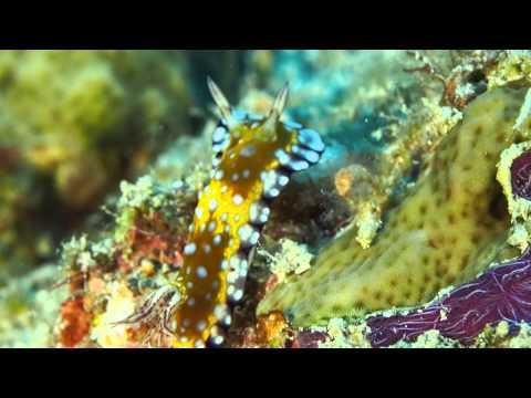 Nudibranchs, Great Barrier Reef, July 2015