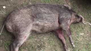 Pig Hunting Video in Pakistan, Hog hunting, Wild  boar hunting, with Dogs, Soor ka Shikar