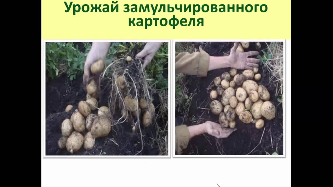 Органическое земледелие как сажать картофель 12
