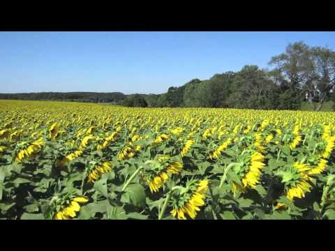 Field of Sunflowers by Longwood Gardens