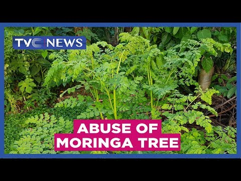 Experts warn against abuse of Moringa tree