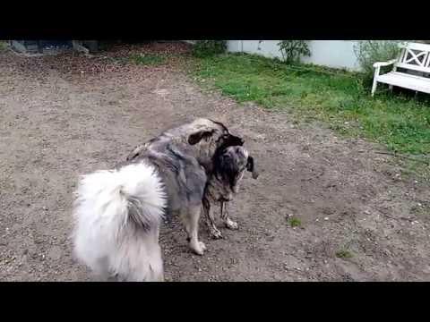 Caucasian shepherd vs Fila Brasileiro