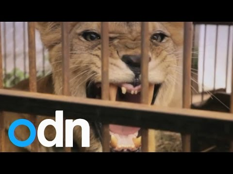 Lion rescue: The amazing story of 25 Bolivian circus lions
