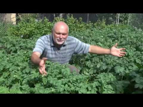🌱Эксперимент с картофелем. Здоровая #ботвакартофеля. Повышение урожая картофеля.🌱
