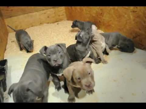 HUGGIE X SAHARA PUPS AT 8 and a half Wks OLD pitbull puppies for sale