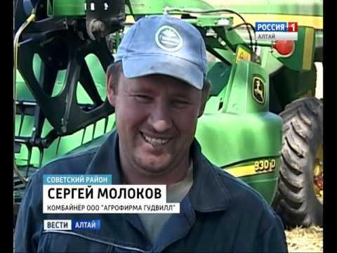 80 центнеров с гектара: рекордный урожай озимой пшеницы собрали в Советском районе Алтайского края