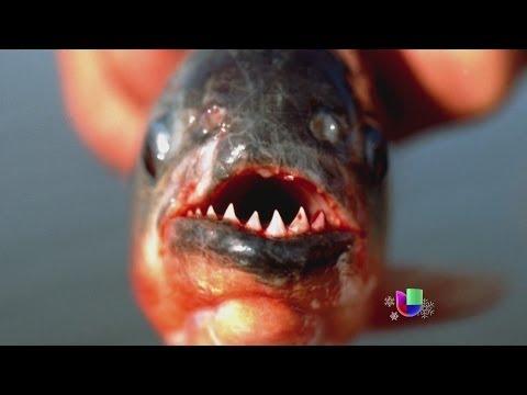 Peces carnívoros atacan a bañistas en Argentina -- Noticiero Univisión