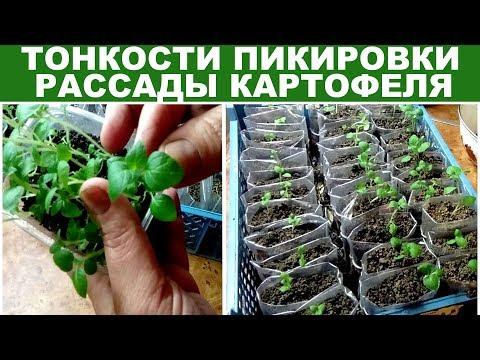 Как сажать картошку на рассаду 85