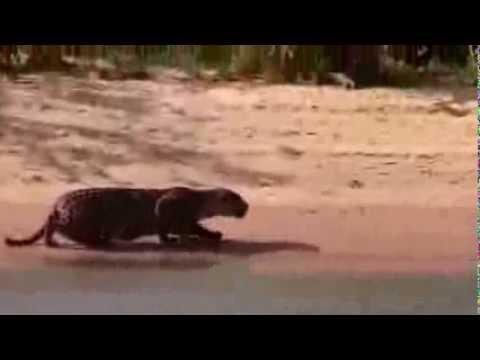 Onça pintada ataca uma Capivara no Rio Araguaia.