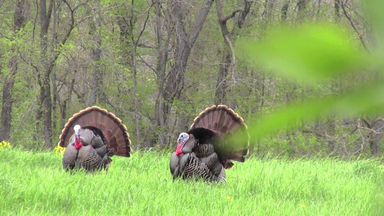 Spring turkey hunting wallpaper