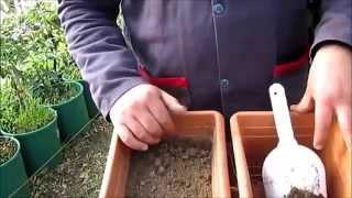 Patlıcan Tohumu Nasıl Ekilir Çimlendirilir Patlıcan Tohumu Satışı