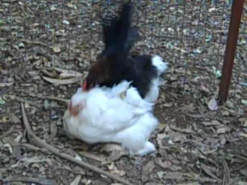 Big Hen, Little Rooster
