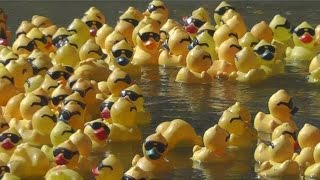 Rubber Duck Race 2015 - Reno, NV