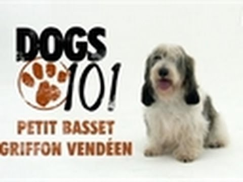 Dogs 101 - Petit Basset Griffon Vendeen