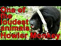 Frame from Guatemalan Howler Monkey (Alouatta pigra)