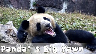 A Big Yawn From A Sleepy Panda | iPanda