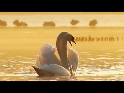 Из жизни юного лебедя