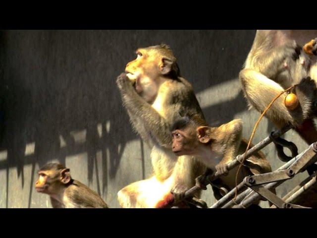 Das große Fressen in der Stadt der Affen