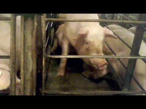 Shocking Video: Walmart Pork Supplier Caught Abusing Pigs