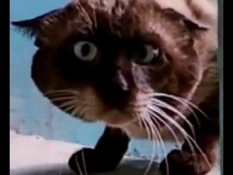 Смешной косоглазый кот. УГАР! РЖАКА ДО СЛЕЗ!